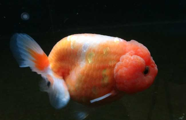 金鱼的寿命有多长?