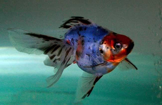 金鱼的寿命有多长