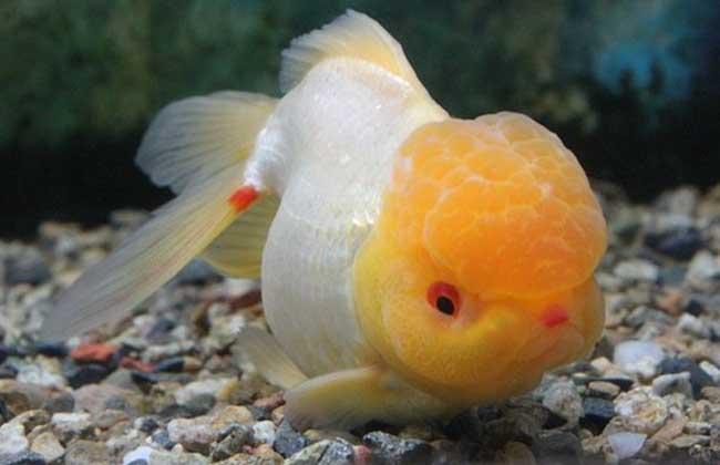 金鱼的记忆只有7秒是真的吗?