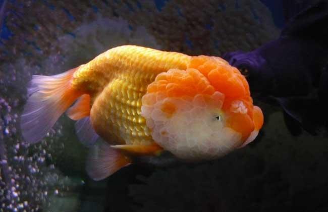 金鱼为什么不会游到鱼缸边? 金鱼不会游到鱼缸边,并不是因为它们能够看到鱼缸,而是因为它们有一个叫侧线的压力感觉系统,可以使它们不碰到鱼缸壁。有些失明的洞穴鱼就是利用它们独有的侧线系统,在无光线的环境中能够自由自在地游动。