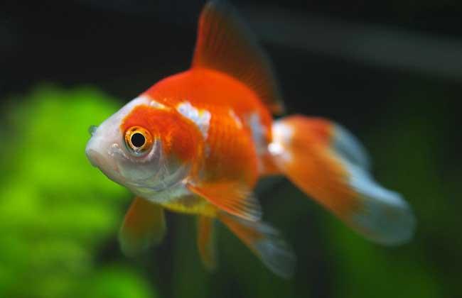 金鱼的记忆只有7秒是真的吗