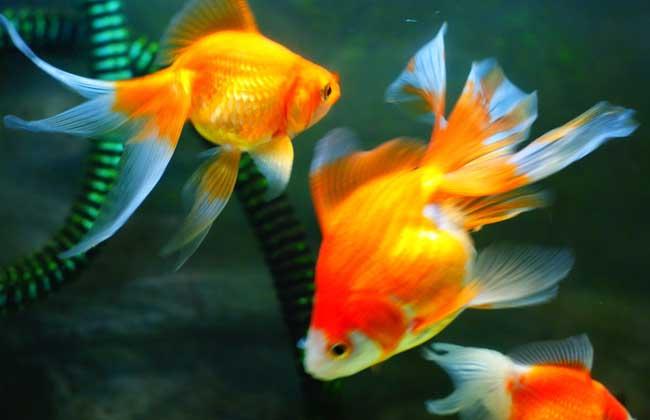 金鱼常见病的防治方法