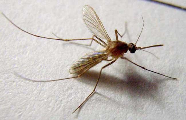 蚊子如何过冬