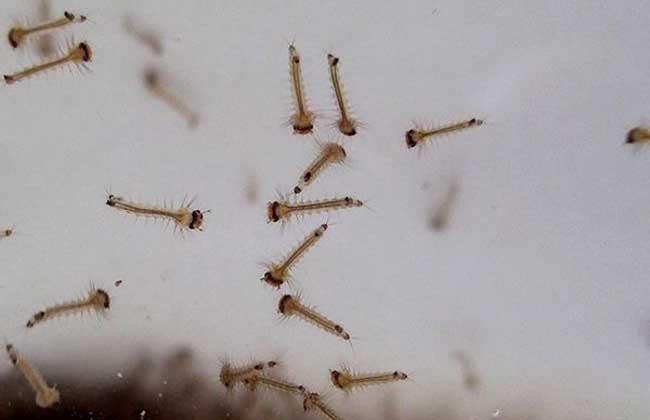 蚊子的幼虫