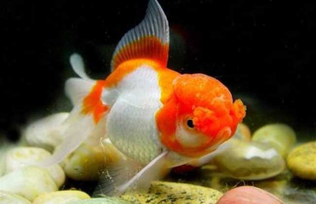 红虎头金鱼图片