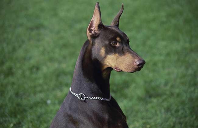 杜宾犬图片