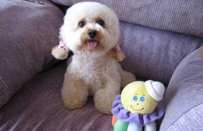 贵宾犬图片及选购方法