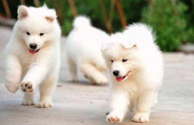 萨摩耶犬图片