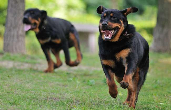 泰迪犬智商排名第几_犬类智商排名_黑熊犬智商排名