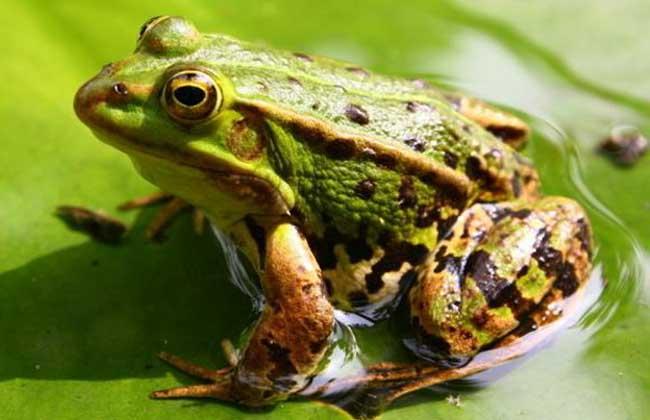 美国青蛙养殖技术