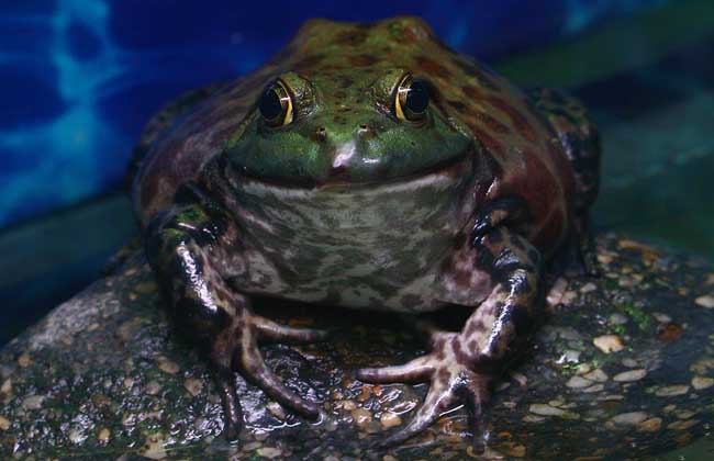 牛蛙身体结构图