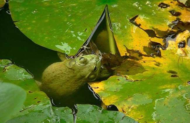牛蛙网箱养殖技术