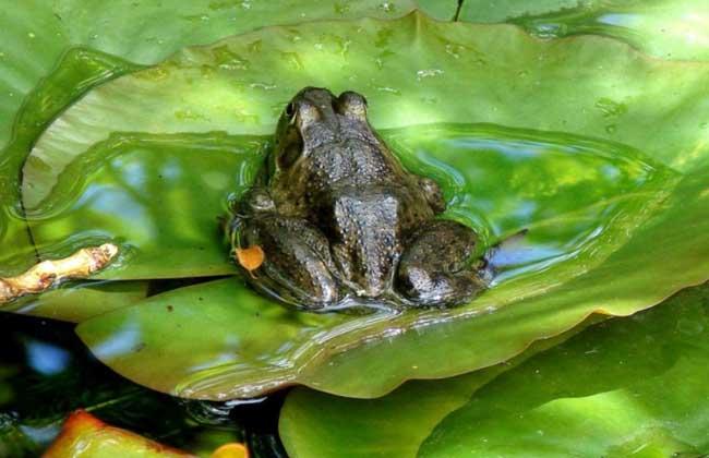 沼泽绿牛蛙