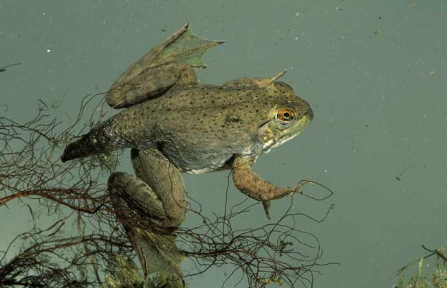 牛蛙的生长过程