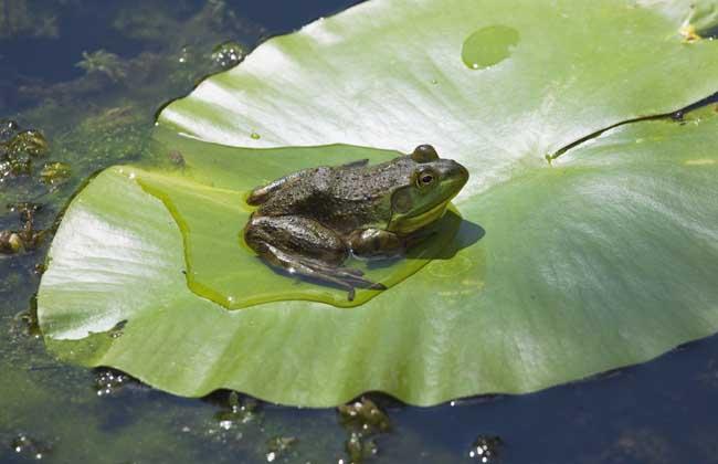 牛蛙养殖技术视频