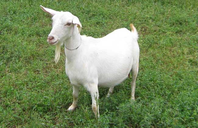 如何养好马头山羊?