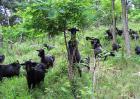 农村圈养黑山羊管理技术
