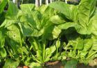 菠菜的保存方法