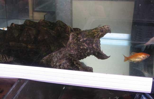 鳄鱼龟图片
