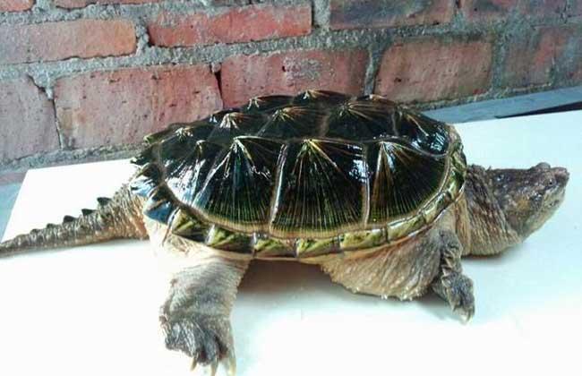 鳄鱼龟不吃东西怎么办?