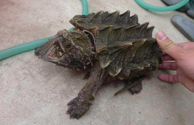 大鳄龟与小鳄龟的区别