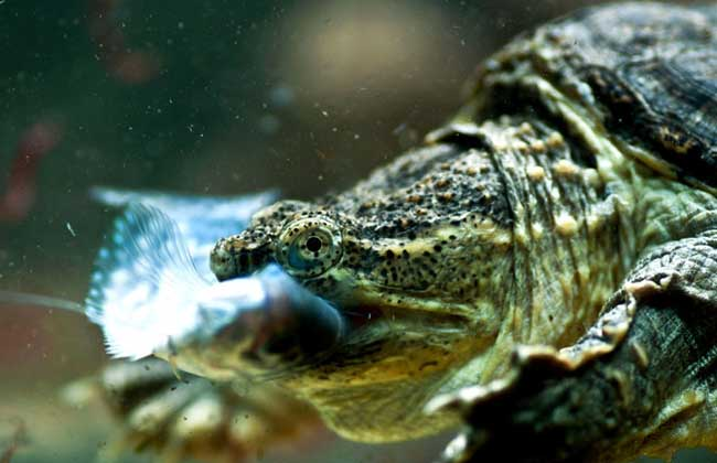 鳄鱼龟温室养殖技术