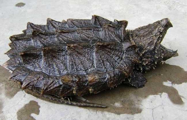 鳄鱼龟吃什么食物?