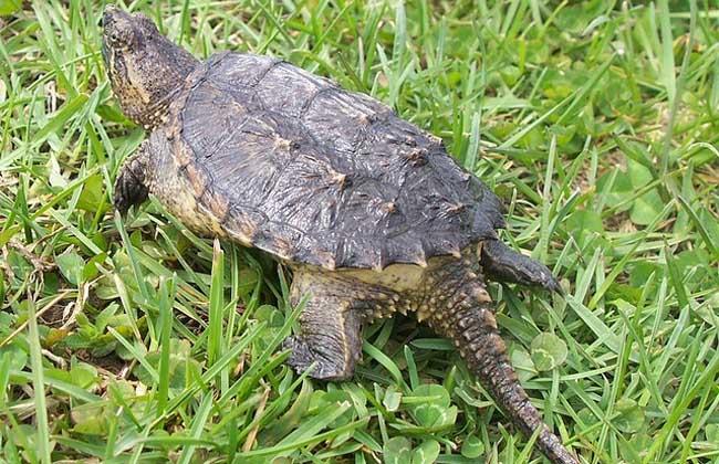 鳄鱼龟吃什么