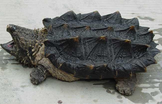 鳄龟的品种有哪些