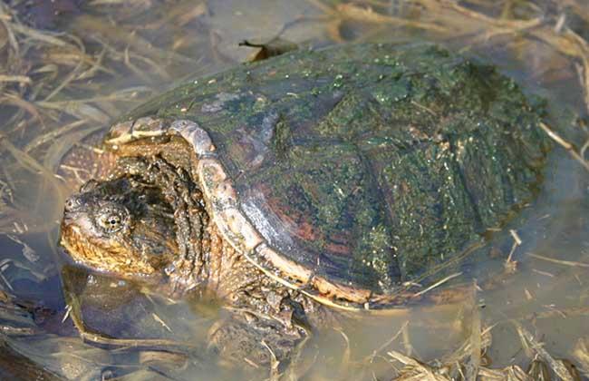 北美拟鳄龟