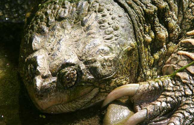 佛州拟鳄龟
