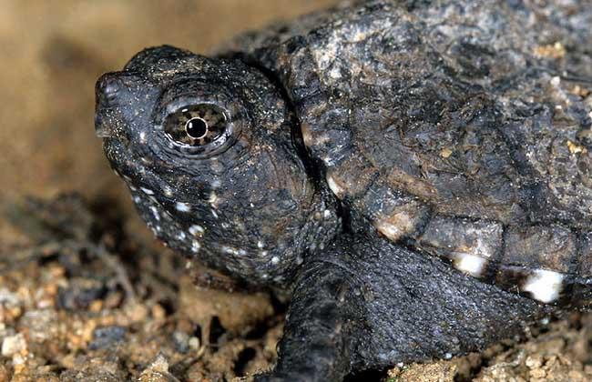 鳄鱼龟的养殖前景