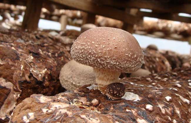 鲁选7579香菇