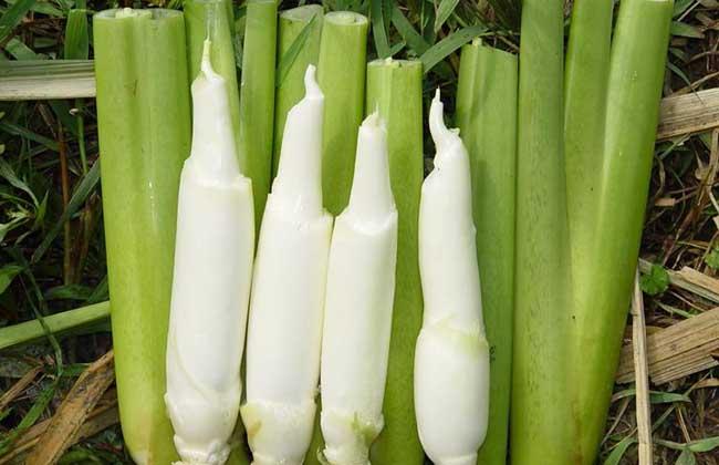 茭白的种植技术