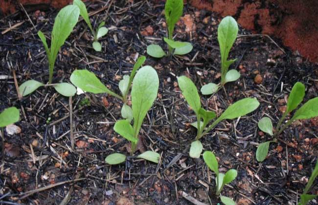 莴笋种子催芽处理方法