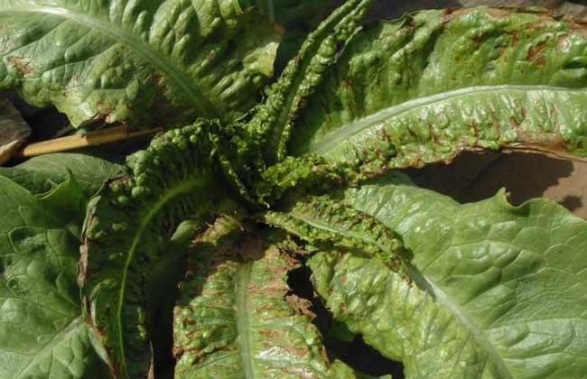 大棚莴笋种植技术