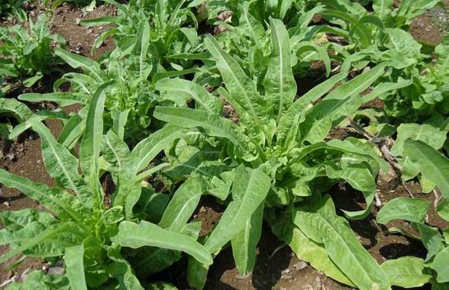 莴笋种植技术