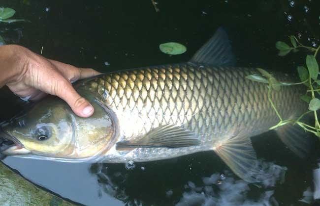草鱼的生态习性