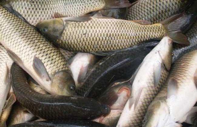 草鱼的功效与作用