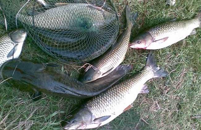 常见的草鱼钓法有哪些?