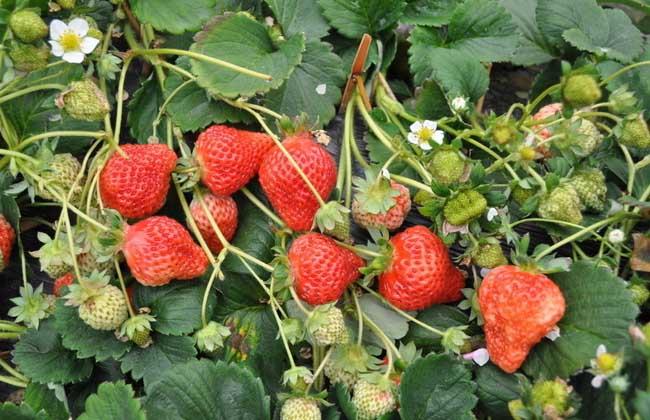 草莓的种植技术