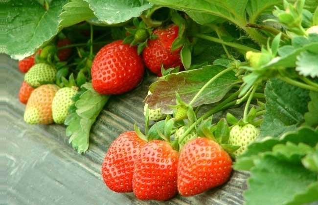 草莓品种图片大全