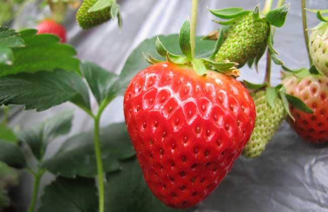 孕妇能吃草莓吗?