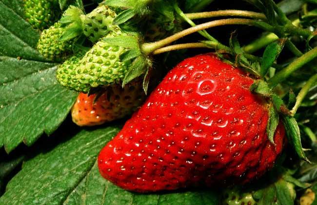 草莓的繁殖方法