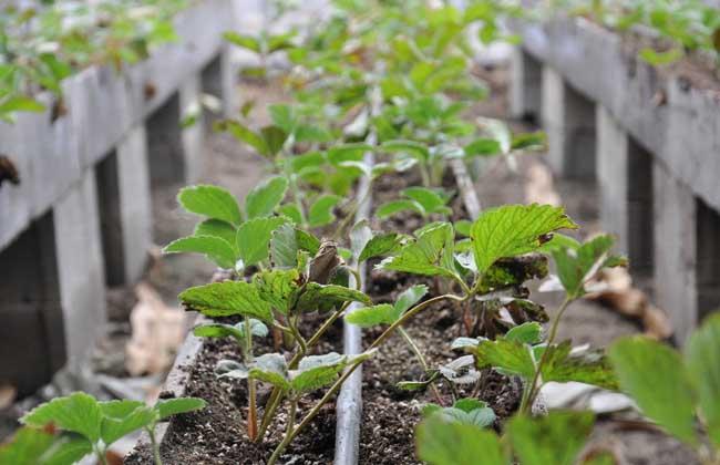 草莓种子繁殖法