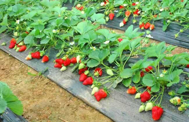 草莓分株繁殖法