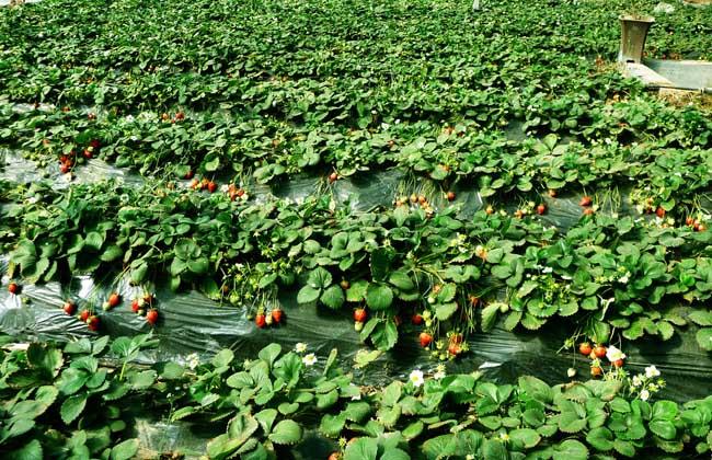 草莓组织培养繁殖法