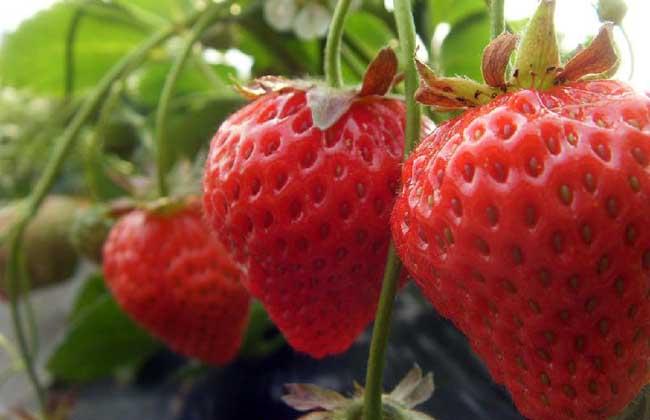 草莓的产地分布有哪些?