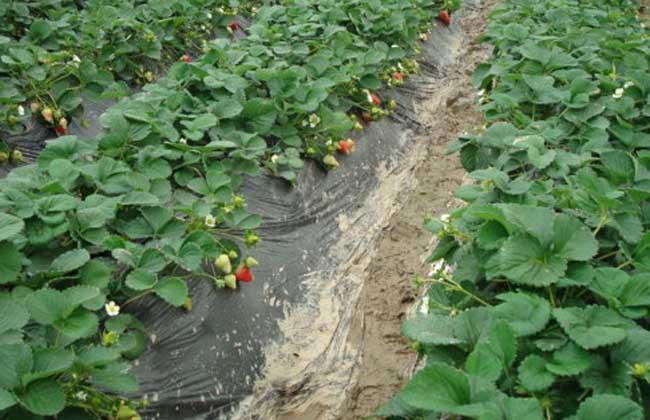 草莓种植技术视频