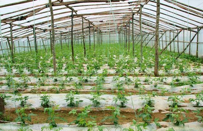 大棚蔬菜的种植前景